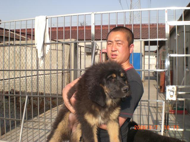 上海德牧俱乐部5月促销德牧和藏獒图片