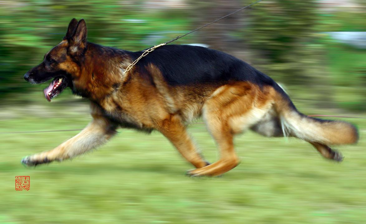 从小就最喜爱德国牧羊犬,现在终于实现愿望! 本人以前从事专业摄影多年,小有成绩。82年考取高级摄影师资格。 现在想为广大德国牧羊犬爱好者做一点自己微不足道的贡献,在德国牧羊犬摄影方面成就一点! 由于一直不在业内,所以拍摄德国牧羊犬也不多。拿出几张,供大家欣赏指正! POSE (冬季黄金版) 此主题相关图片如下:  (真实版) 此主题相关图片如下:  正面头版 (逆光轮廓) 此主题相关图片如下:  此主题相关图片如下:  此主题相关图片如下:  步态动感 此主题相关图片如下:  扑咬欲望全过程 此主题相关图