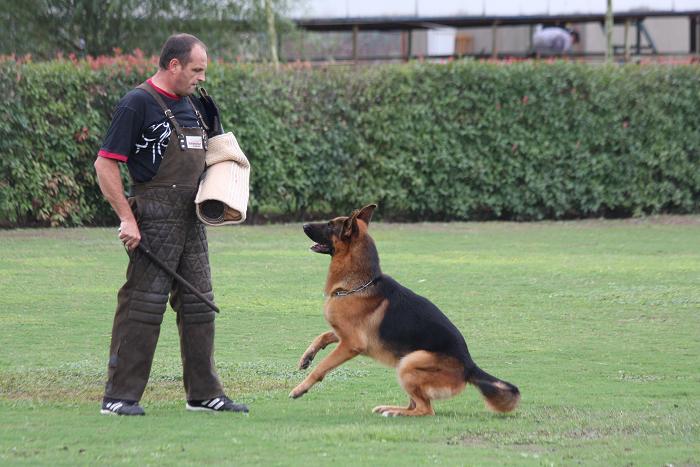009年CSV德国牧羊犬俱乐部假想敌培训图片