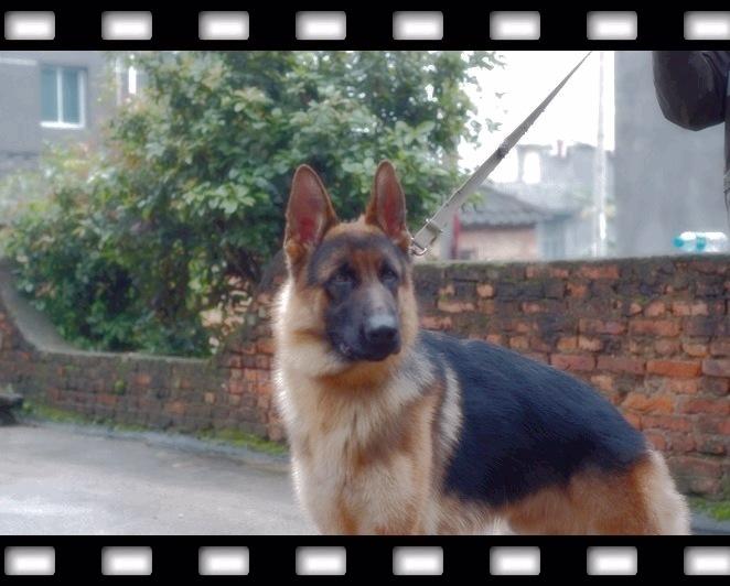 CSV德国牧羊犬俱乐部图片