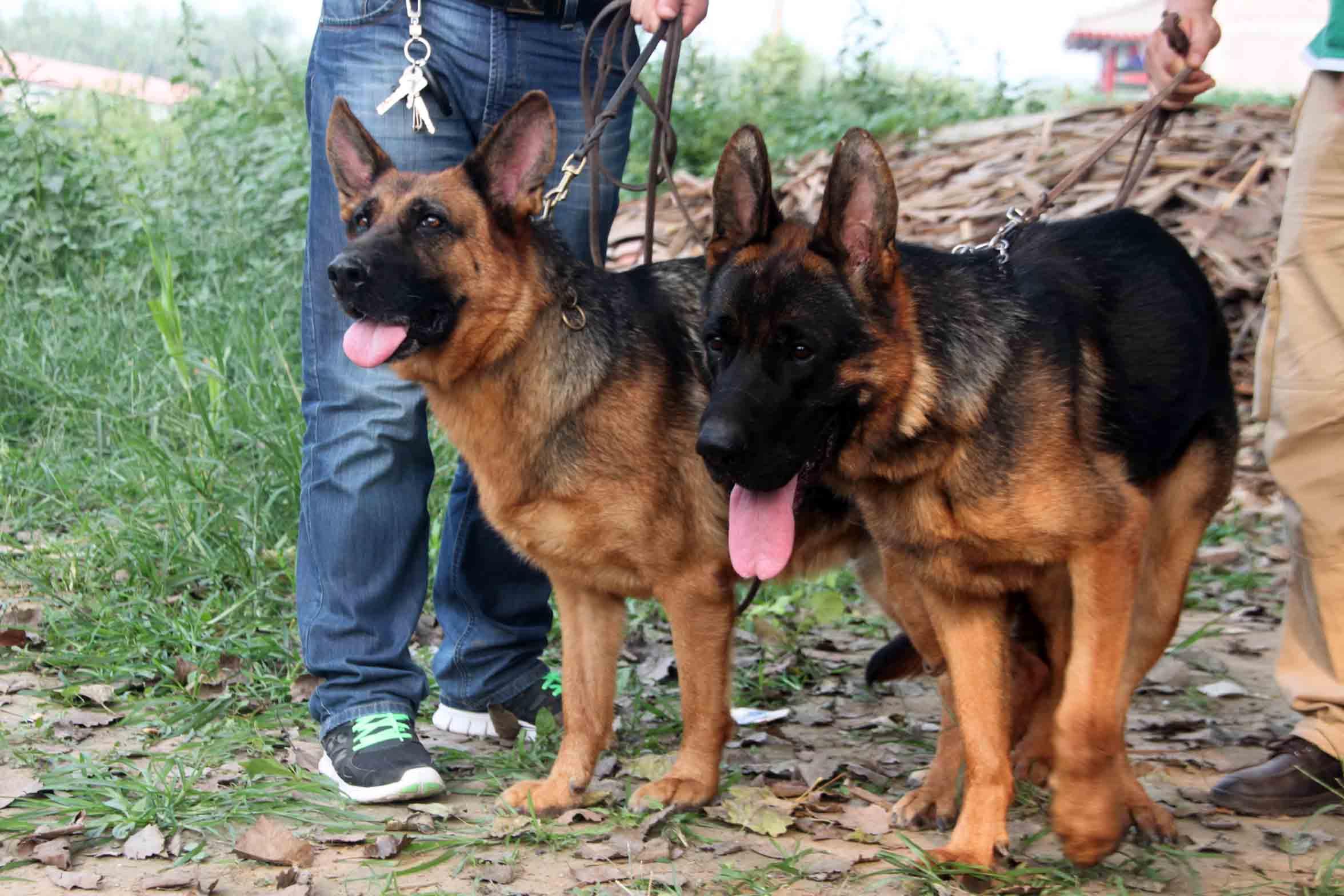 符合德国牧羊犬标准