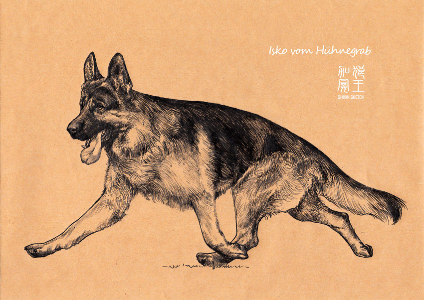 〖狼王加冕〗〖原创〗德国牧羊犬手绘集锦——动态篇